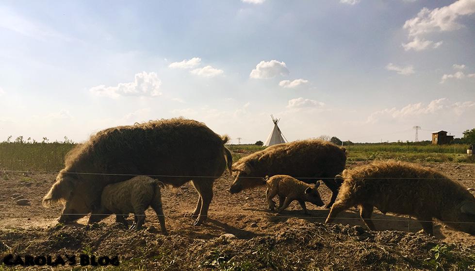 RK4-Wollschweine