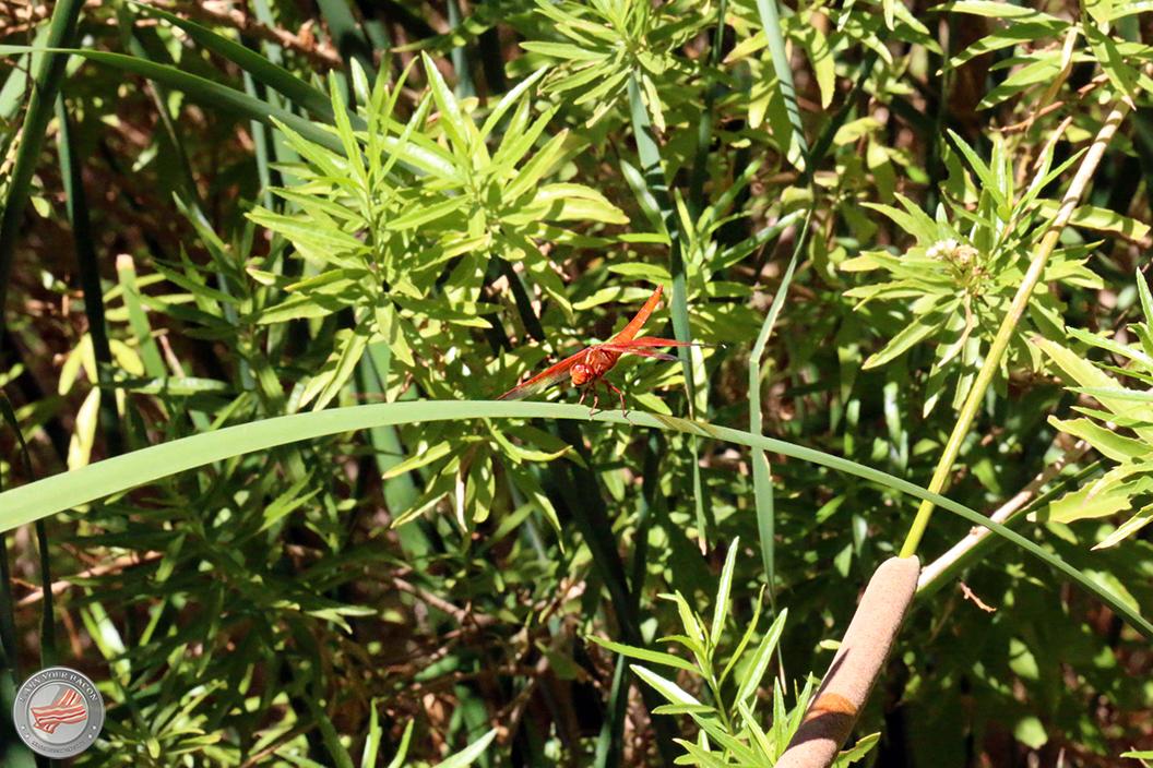 darwin falls dragonfly