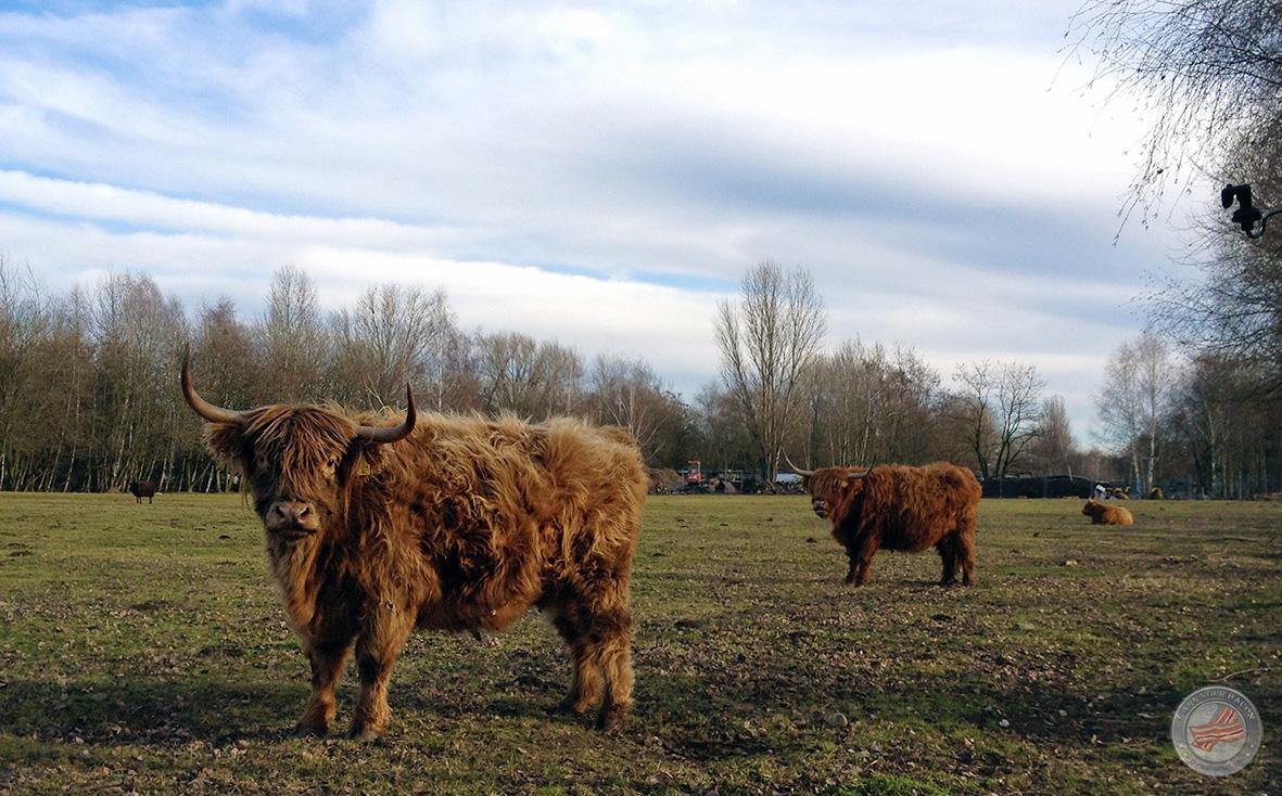 mammutmarsch2 büffel