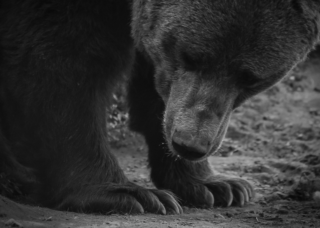bear_title